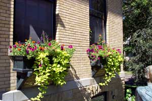 Purple petunias, orange zinnias and purple angelonia provide color at the top of these window boxes. Chartreuse sweet potato vine spills over the edges.