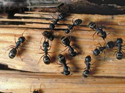 carpenter ants.