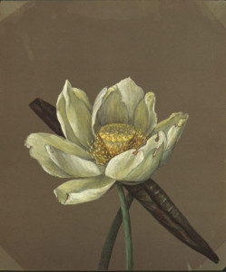 Emma Roberts, Nelumbo Great Yellow, 1885.