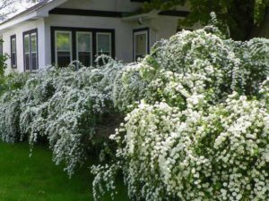 photo of bridal wreath shrubs