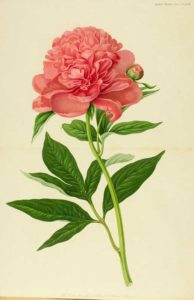 Peony botanical illustration.
