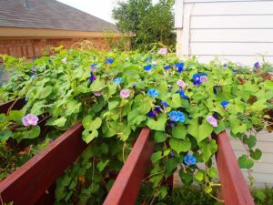 photo of morning glories on pergola